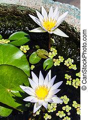 white lotus flower, beauty