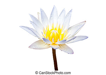 White lotus flower isolated on a white background. File contains with clipping path.