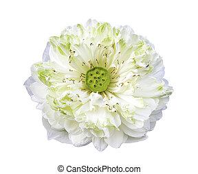 White lotus flower isolated