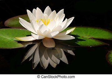White water lily in a dark pond.