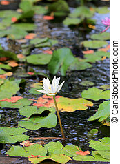 white lotus in a pond with bloom.