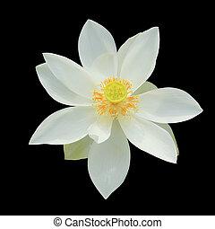 White lotus isolated on black background