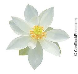 White lotus isolated on white background