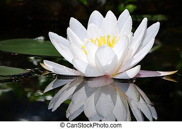 White lotus - Macro of a white water lily