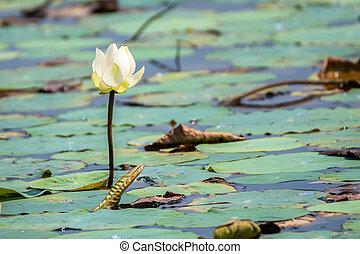 White lotus or Nelumbo nucifera - White flower of lotus or ...