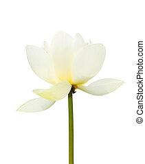 white lotus petal isolated on white