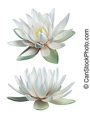 White lotus vector isolated on white background
