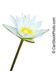 White lotus water lilly isolated