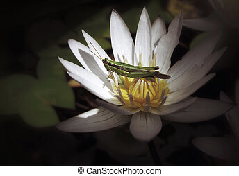 White lotus with insect