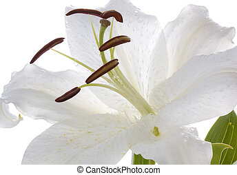 white madonna lily