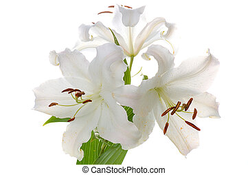 madonna lily -  white madonna lily isolated on white