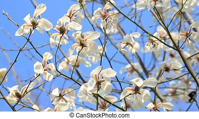 White magnolia blossom flowers on tree branch