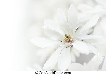 White magnolia blossoms. - White magnolia blossoms natural...