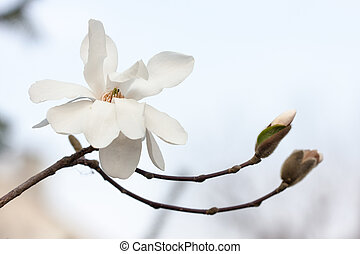 white magnolia branch in the spring close up