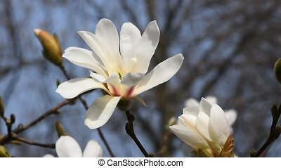 White magnolia flower head close up