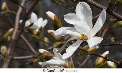 White magnolia flower high angle close up