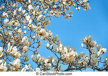 White magnolia flowers against the blue sky
