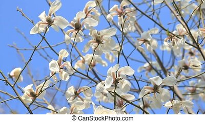 White magnolia flowers against the sky blue