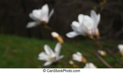 White magnolia flowers focus in close up