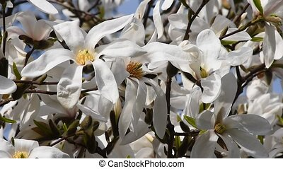 White magnolia flowers in the wind, close up