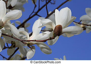 White magnolia flowers on a background of blue sky