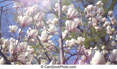 White magnolia flowers on tree branch on background of blue...