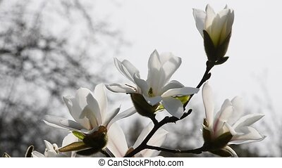White magnolia flowers side over white, close up