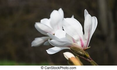 White magnolia flowers side view close up