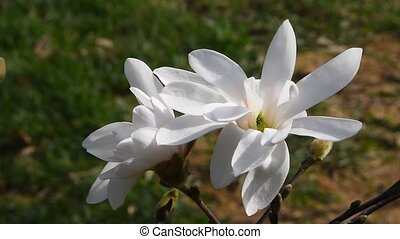 White magnolia flowers top view close up