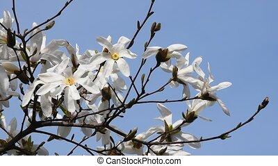 White magnolia flowers tremble in the wind - White magnolia...