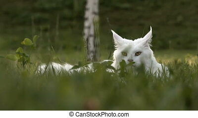 white maine coon cat female sits on grass