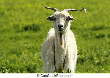 white male goat
