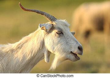 white male goat portrait