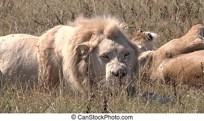 White Male Lion In The Nature