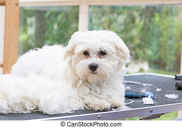 White Maltese dog is lying on the grooming table