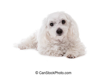 White Maltese Dog Lying and  Looking in Camera