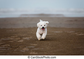White Maltese dog running outdoors