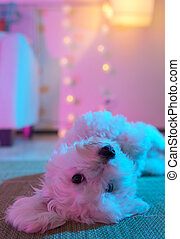 White maltese dog sitting on carpet