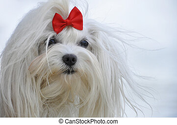 white maltese dog with a red bow