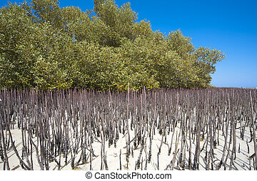 White mangrove tree with stilt roots in a tropical lagoon