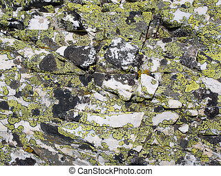 White marble rock coated by yellow and black crusty lichens