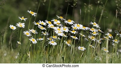 white marguerite daisy flower meadow field - white...