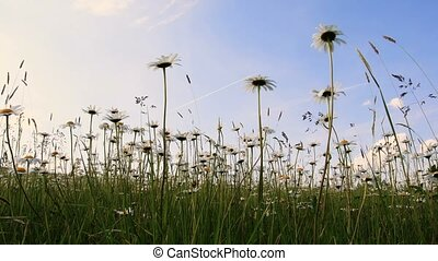 white marguerite or daisy flower on meadow in spring breez -...