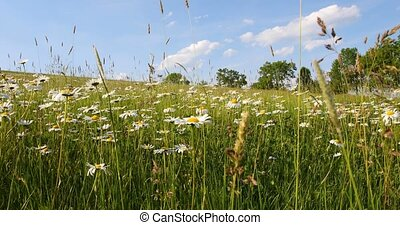 white marguerite or daisy flower on meadow in springtime...