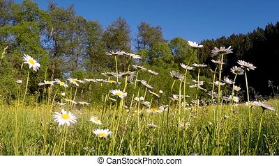 white marguerite or daisy flower on meadow in spring breeze...
