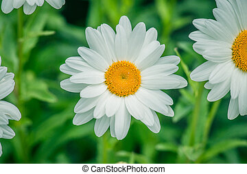 White marguerites on natural green background