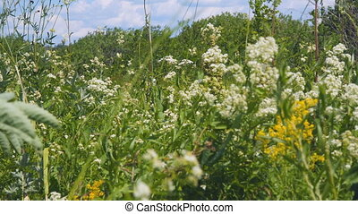 White meadow flower yarrow on natural background. Selective...