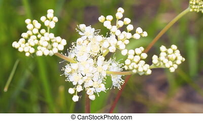 White meadow flower yarrow on natural background