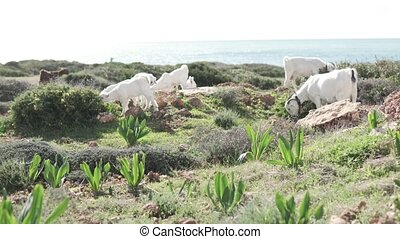 White mountain goats grazing on a rock by the sea