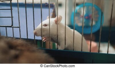 white mouse rat in pet cage. slow lifestyle motion video....